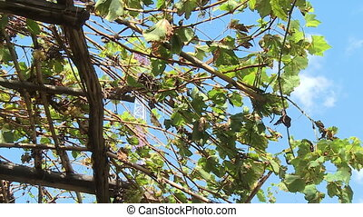 Grapes growing in a vine - A low angle shot of grapes...