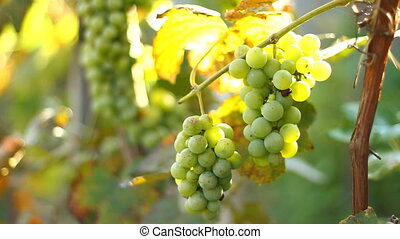 Grapes growing in a vineyard in summer