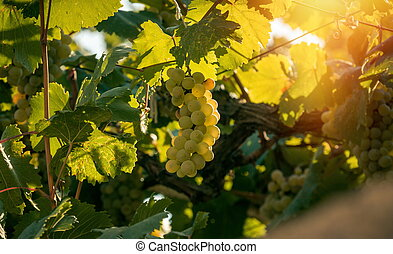 Grapes growing in the sunlight
