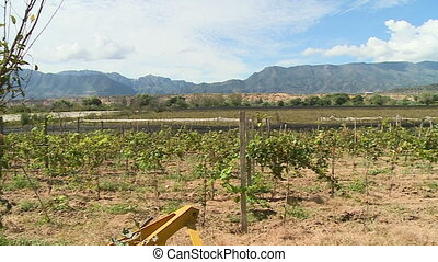 Grapes growing on a farm - An establishing shot of grapes...