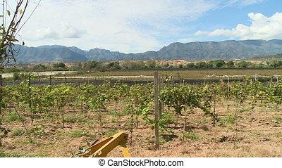 Grapes growing on a farm - An establishing shot of grapes...