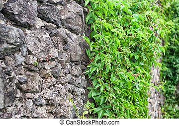 grapes growing on an old stone wall