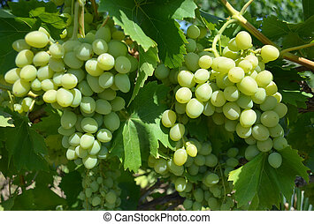 grapes grown in the garden