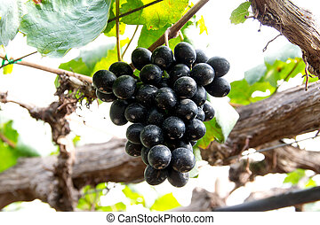 grapes hang from a vine