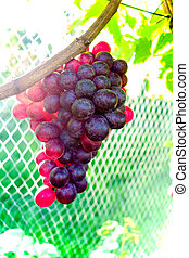 Grapes hanging on a vine