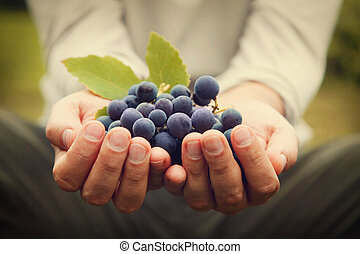 Grapes harvest. Farmers hands with freshly harvested black ...