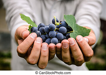 Grapes harvest in autumn
