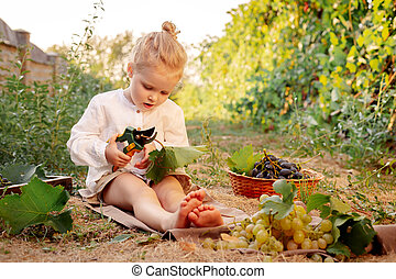 Grapes harvest. Little baby girl picks grape harvest in summer time at sunset. Portrait of beautiful caucasian child girl 3 years old curly blonde holding pruning shears on farm in vineyard