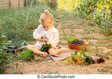 Grapes harvest. Little baby girl picks grapes harvest in summer time at sunset. Portrait of beautiful caucasian child girl 3 years old curly blonde picks grapes on farm in vineyard puse secateurs.