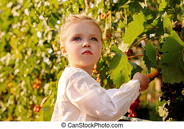 Grapes harvest. Little baby girl picks grapes harvest in summer time at sunset. Portrait of beautiful caucasian child girl 3 years old curly blonde picks grapes on a farm in the vineyard.