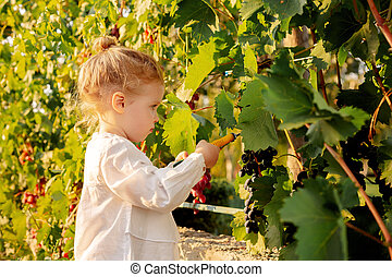 Grapes harvest. Little baby girl picks grapes harvest in the summer time at sunset. Portrait of a beautiful white child girl 3 years old curly blonde picks grapes on a farm in the vineyard.