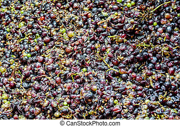 Grapes harvest of vineyard in september north italy, red grapes for wine