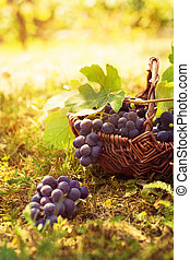 Grapes harvest. Autumn nature in vineyard with basket of...
