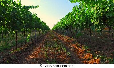 Grape's harvest - wine ingredients - Rural landscape with...