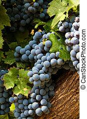 Grapes in a vineyard in Mendoza, Argentina