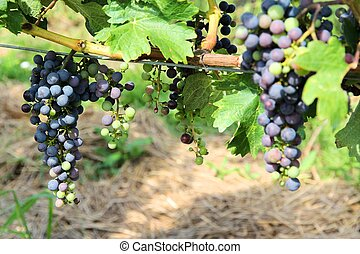 Grapes in Austria