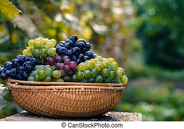 grapes in autumn time