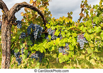 grapes in late September