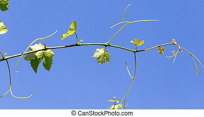 grapes in spring in nature