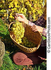 Grapes in the basket. Lavaux, Switzerland