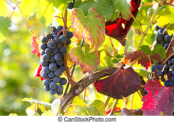 grapes in the sun of october