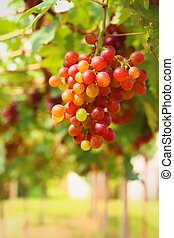 Grapes in the vineyard - the fruit