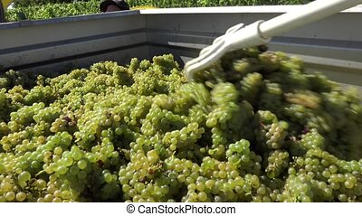 Grapes in trailer - distribution of white grapes into the...