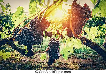 Grapes in vineyard. Tuscany, Italy