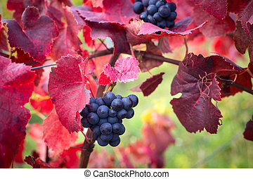 Grapes leaves in a sunny vineyard - Grapes leaves with...