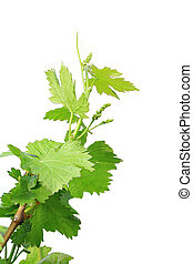grapes leaves isolated