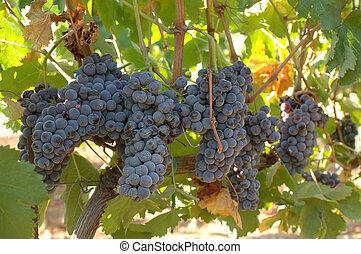 grapes of black vine ripe in sicily
