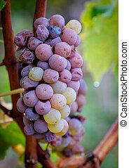 Grapes of Sauternes