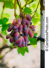 grapes on a background of green leaves
