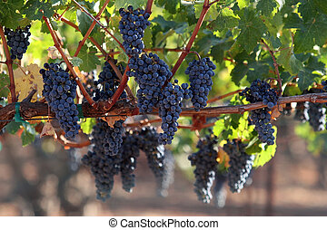 Grapes on a vine - Red grapes hanging on a vine