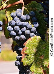 grapes on the vine, digital photo picture as a background
