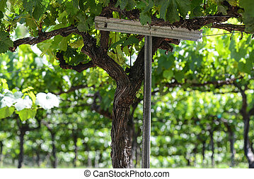 Grapes on the Vine in Spring