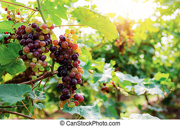 Grapes on tree with sunlight at sky.