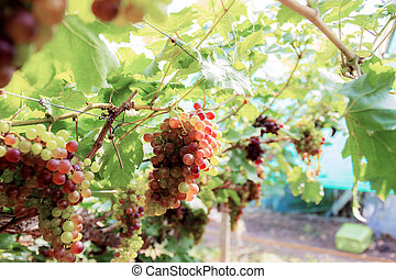 Grapes on tree with sunlight.