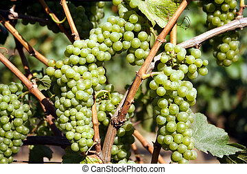 Grapes on vine - grapes on vine waiting for harvest