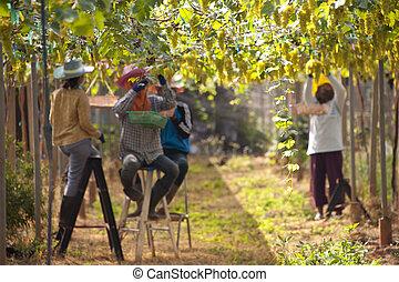 Grapes on Vine in Vineyard