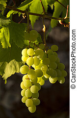 Grapes ripening in the sun