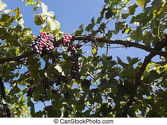 Mallorca vineyard