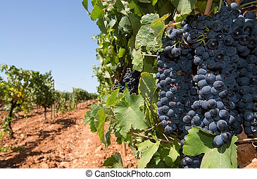 Grapes ripening on stock