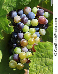 Grapes ripening on the vine - A fine bunch of grapes...