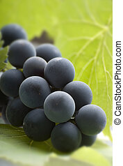 grapes - blue wine grapes with leaves close up shoot