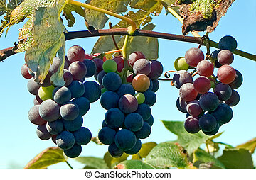Three bunches of concord grapes hanging on the vine.