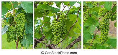 Grapes valley