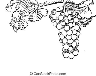 Grapes Vector Hand drawn Sketch