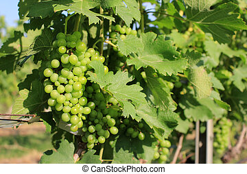 grapes with green leaves on the vine. fresh fruits in farm