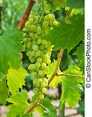 Grapes with green leaves on the vine in vineyard. Fresh fruits
